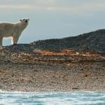 Junger Eisbär auf einer Bootstour mit einem Zodiak