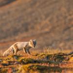 im Sommerfell - im Winter sind die Füchse weiß