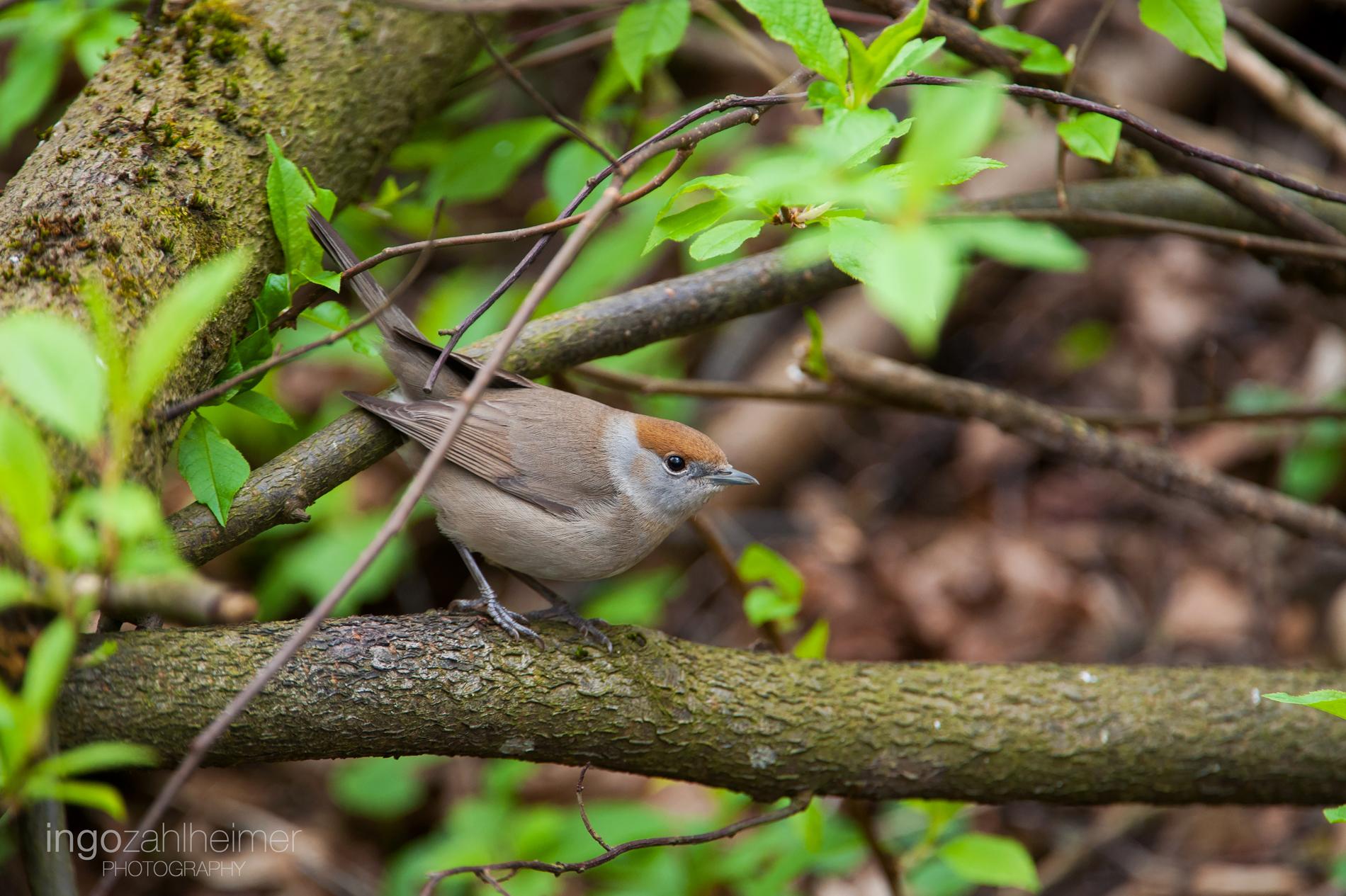 Mönchsgrasmücke, Weibchen. Das Männchen hat eine schwarze Kappe, anstatt einer Braunen. Beide kamen an den Bach.